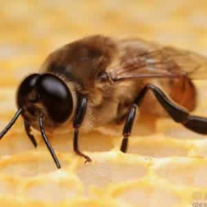 زنبور نر